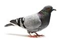 Les Pigeons jugés plus efficaces que les syndicats par les dirigeants