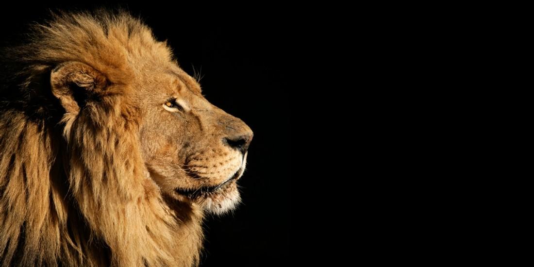 Management : êtes-vous plutôt gorille ou lion ?